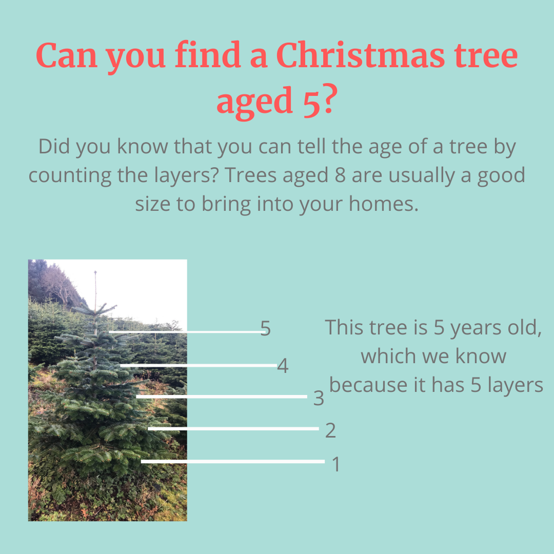 Fact 1: How to tell how old a Christmas Tree is
